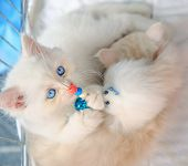 A Cute White Turkish Angora Cat Playing Close Up. Fashion Kitty Cat With Pedigree And Blue Eyes. Con poster