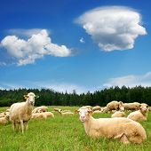Herd Sheep on beautiful mountain meadow