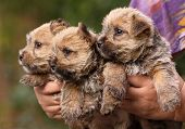 foto of westie  - Beautiful norwich terrier puppies looking in hand - JPG