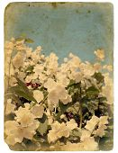 Blooming Flower Of Jasmine. Old Postcard.