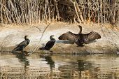 Cormorants By The Water