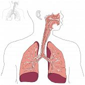 image of respiratory  - Respiratory system and Actinomycosis in humans - JPG