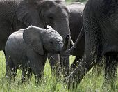 Baby Elephant, Loxodonta Africana , Following Mother Elephant Through Green Grass, Mothers Tail Touc poster