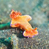 Macro shot of a Ceratosoma trilobatum nudibranch underwater