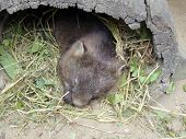 picture of polly  - A Wombat sleeping in a log at a wildlife park in Australia - JPG
