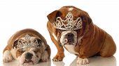 Two Bulldogs With Tiaras