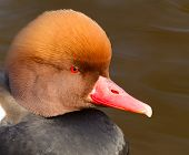 Red Crested Pochard (netta Rufina) Portrait