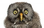 pic of laplander  - Great Grey Owl or Lapland Owl - JPG