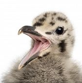 European Herring Gull chick calling, Larus argentatus, 1 month old against white background