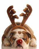picture of dog christmas  - english bulldog dressed as the red nosed reindeer - JPG