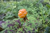 Fresh Cloudberry closeup in forest