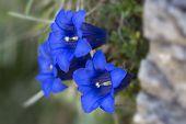 Gentiana clusii flowers