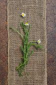 Fresh Camomile flowers on burlap