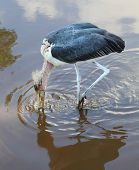 The Marabou Stork (Leptoptilos crumeniferus) hunting in the swamp.