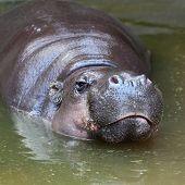 The Pygmy Hippopotamus (Choeropsis liberiensis or Hexaprotodon liberiensis).