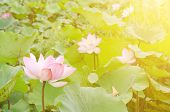 pic of day-lilies  - Morning lotus flower in the farm under warm sunlight - JPG
