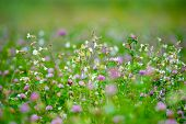 foto of red clover  - Summer meadow with various herbs - JPG