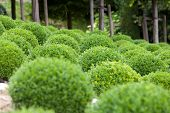 Boxwood  big Green garden balls in France