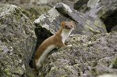 picture of ermine  - Watchful ermine in its natural habitat. Kamchatka.