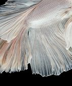 close up of siamese fighting fish betta splendors isolated on black