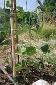 picture of bean-pod  - Vigna Unguiculata Sesquipedalis pods growing supported by plastic netting - JPG