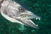 stock photo of barracuda  - A hunting barracuda shows its long - JPG