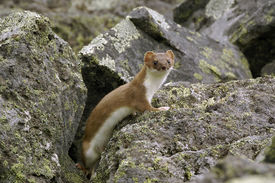 picture of ermine  - Watchful ermine in its natural habitat. Kamchatka. ** Note: Slight blurriness, best at smaller sizes - JPG