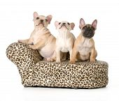 three french bulldog puppies on a dog bed isolated on white background