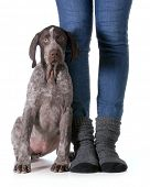 woman and her dog - german shorthaired pointer puppy sitting beside legs of woman isolated on white