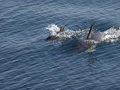 dolphins in ocean