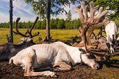 stock photo of mongolian  - Tethered reindeer belonging to Mongolian nomads in northern Mongolia - JPG