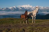 Two Horses In The High Mountains