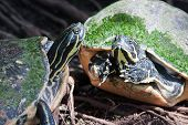 stock photo of terrapin turtle  - Painted turtle in wildlife on the waters edge - JPG