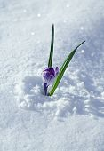 snowdrop crocus flower on snow white background