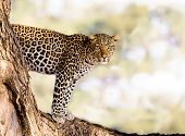 stock photo of leopard  - Wild African leopard standing in a tree - JPG