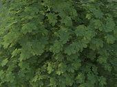 Aesculus Hippocastanum Summer