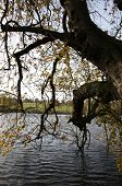 Trees Over Lake