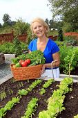 Retired woman in the vegetable garden holding a basket of freshly picked lettuce and tomatoes. Also