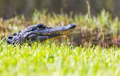 picture of alligator  - Alligator in Florida - JPG