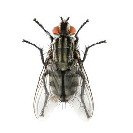 stock photo of gnat  - The House Fly  - JPG