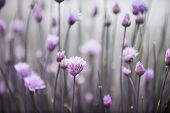 Purple flowers of flowering chives in garden