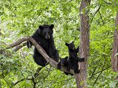 Momma Bear and Cubs in Tree