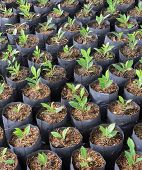Banyan Plants