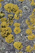 Colonies Of A Yellow Lichen