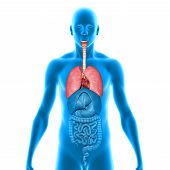 picture of respiration  - The lung is the essential respiration organ in many air - JPG
