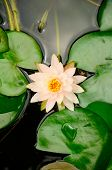 Peach Colored Water Lily