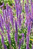 Flowering Salvia Flowers In Denmark Summer