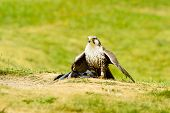 foto of falcon  - Laggar Falcon  - JPG