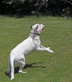 White Dog Jumping