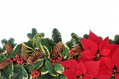 Christmas poinsettia flower background border with holly, ivy, mistletoe, pine cones and fir leaf sp